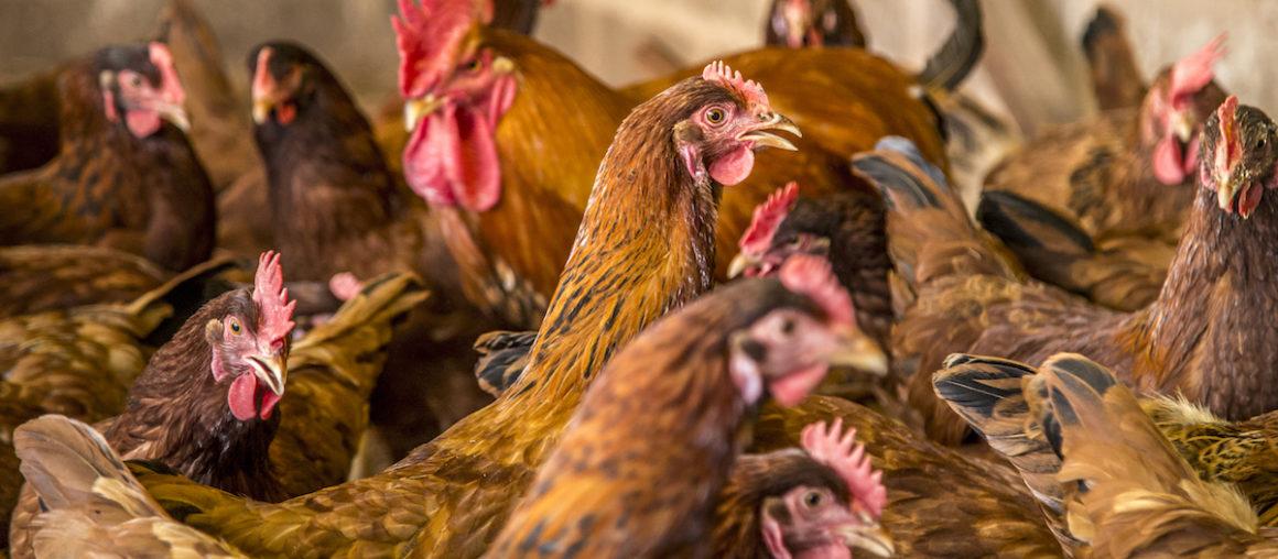 7 Recomendaciones de bioseguridad en las granjas avícolas